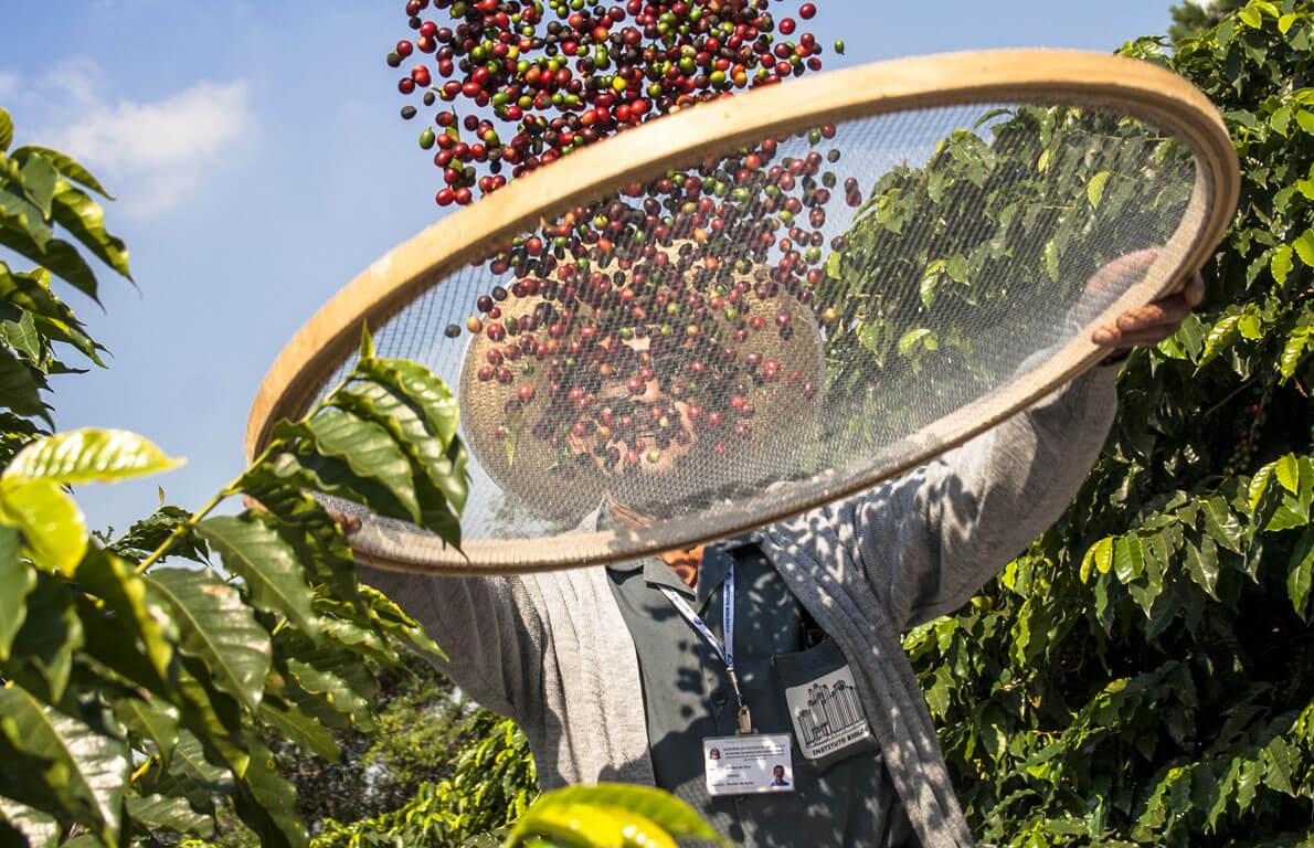 Colheita de café no Brasil